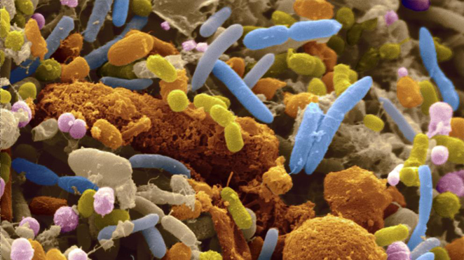 efecto yoyo y microbiota