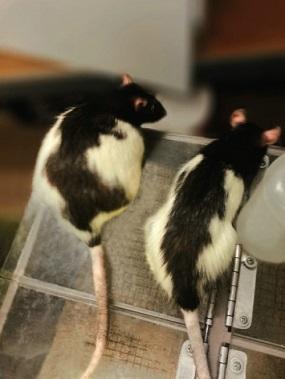 La rata de la izquierda lleva una dieta de comida chatarra, la de la derecha lleva una dieta más nutritiva.